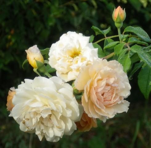 Rosa 'Buff Beauty' !!! - Page 2 17082011