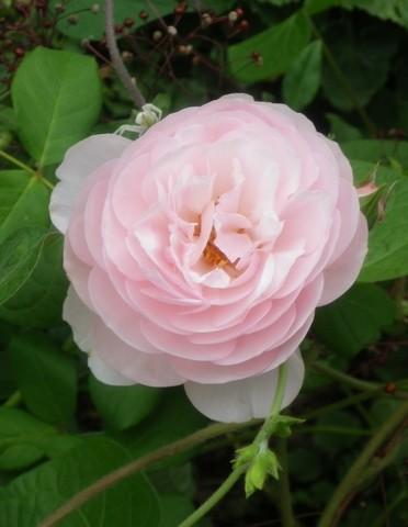 Rosa 'Héritage' !!! - Page 2 18092012