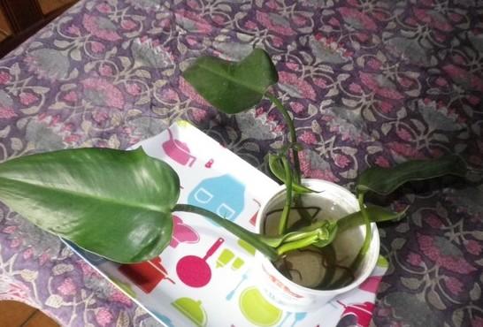 Philo xxx /// Philodendron erubescens ??? 18092023