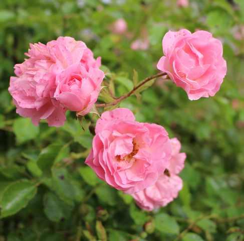 Le jardin en rose ! 19062012