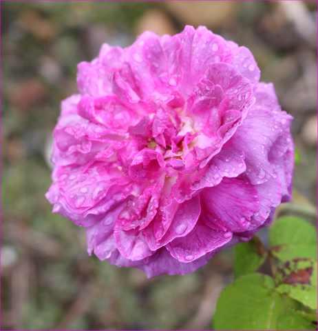 Rosa 'Jenny Duval' 19062021