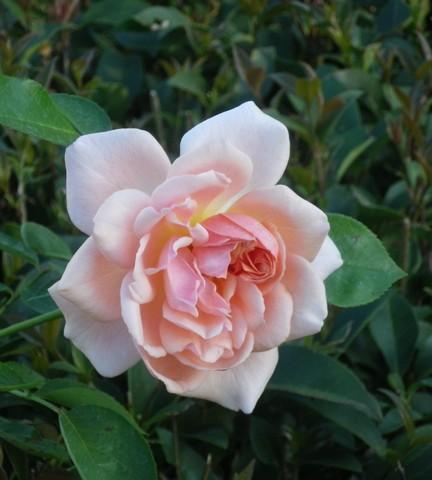 Rosa 'Papi Delbard' !!! 20092010