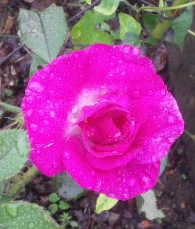 Rosa 'Violette Parfumée !!! 20102010