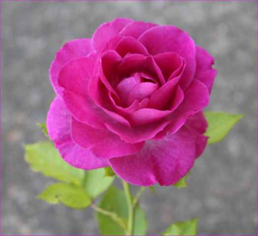 Rosa 'Violette Parfumée !!! - Page 4 22062017