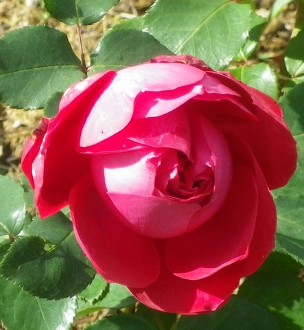 Rosa 'Mr Lincoln' !!! 22102012