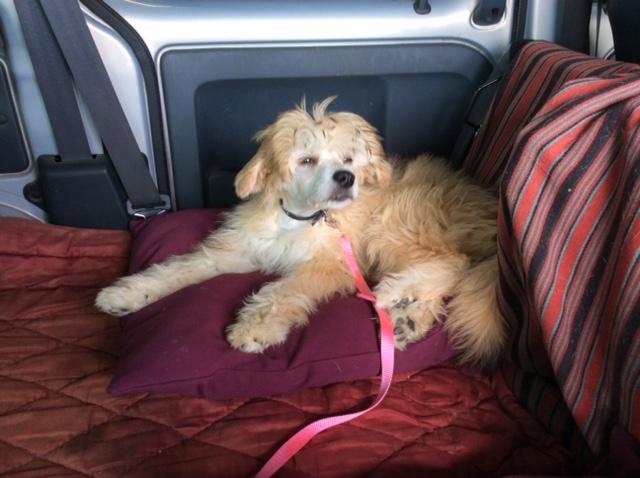 MANI petit chien chinois à houpette de 4 mois  Adopté Img_0025