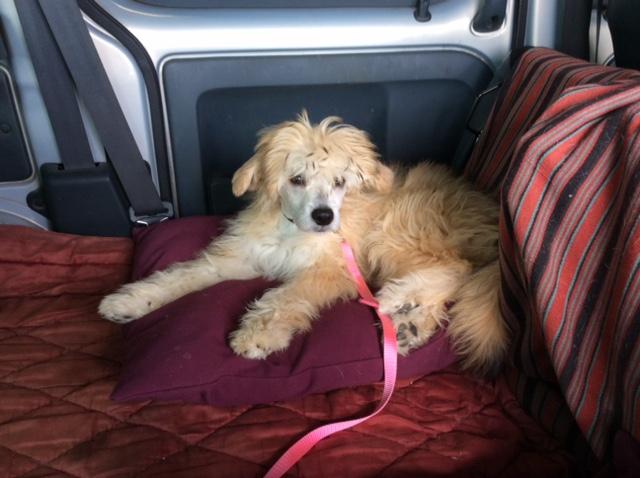 MANI petit chien chinois à houpette de 4 mois  Adopté Img_0026