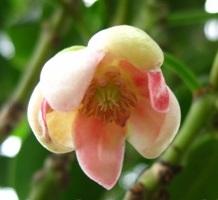 La culture de l'anis étoilé -la badiane- Illicium verum I_veru13
