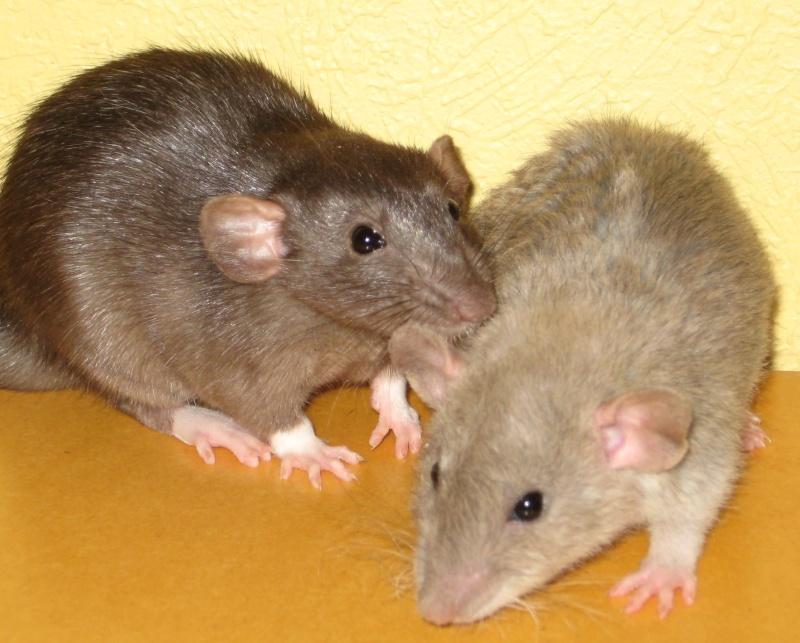 """""""Tetes de rats"""" Petc10"""