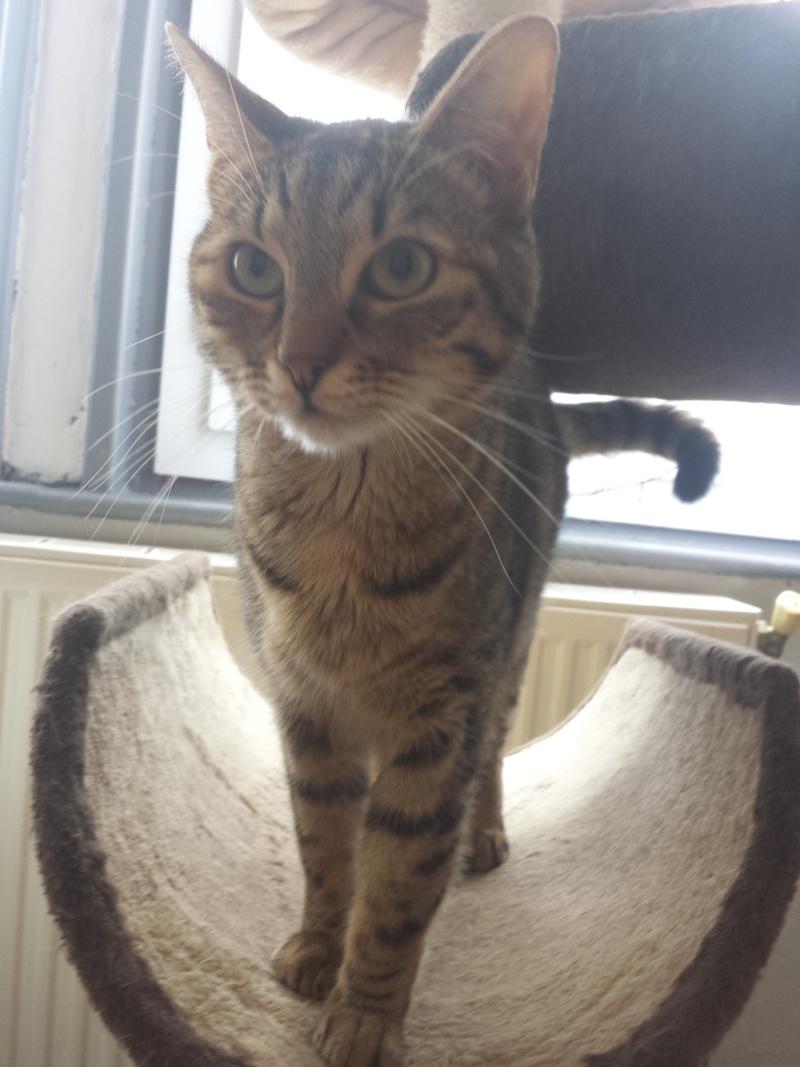 jagna, jolie tigrée née le 10 avril 2014 20160638