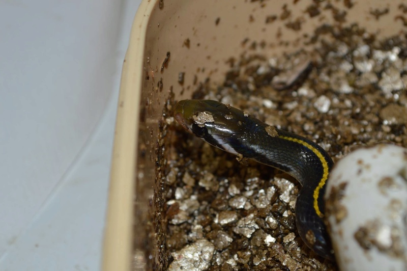 naissances coelognathus flavolineata Indonésienne 13913710