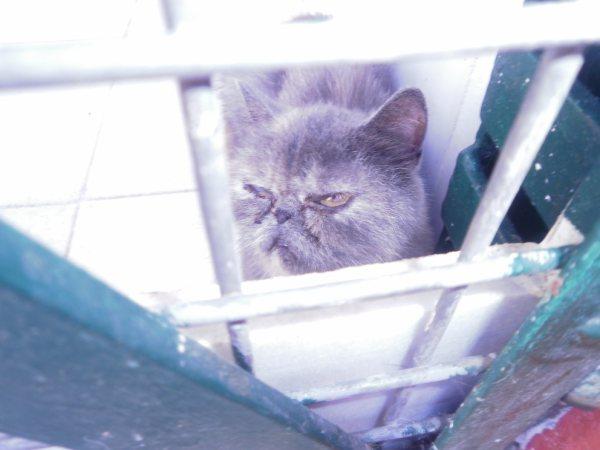 Acogida para gata persa y su  cachoro. Están en perrera Almeria Almeri19