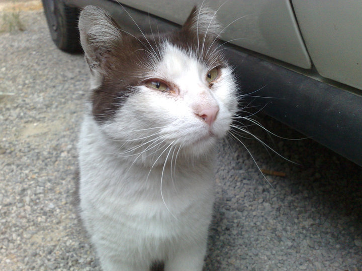 Bob, gato adorable en la calle. Barcelona Bob110