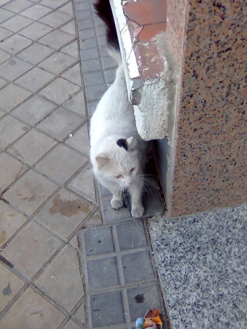 Messi, preciosa gata blanca. Malvive en las calles de Madrid Imagen28