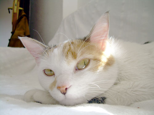Marina, gata de 4 años. No pierde la esperanza de encontrar un hogar. Madrid GAT Marina10