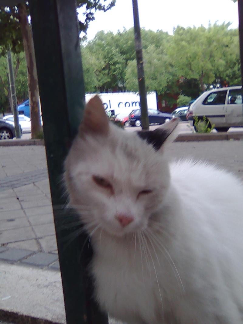 Messi, preciosa gata blanca. Malvive en las calles de Madrid Messi_10