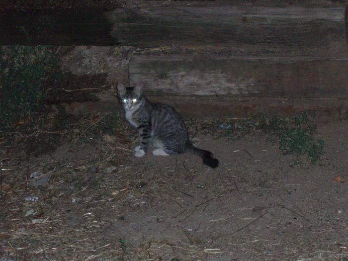 Odin, Nanuk y Odel. 3 gatitos cachorros viviendo en zona peligrosa Madrid Odel10