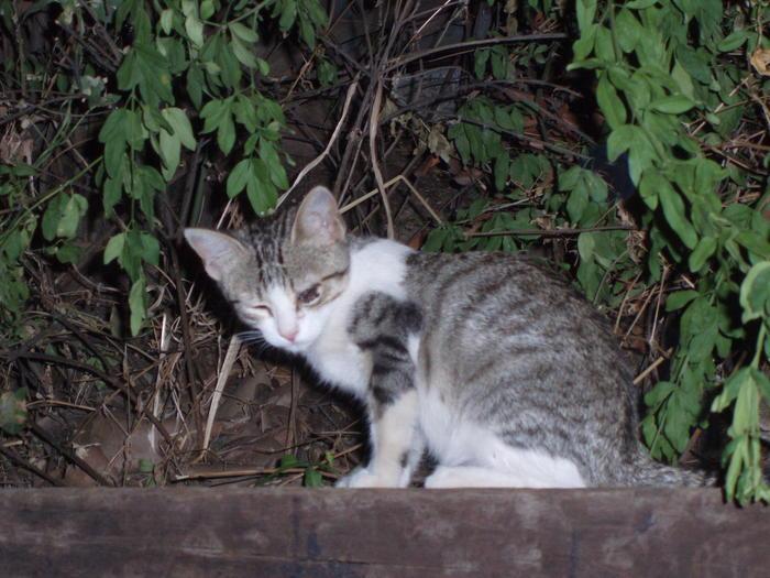 Odin, Nanuk y Odel. 3 gatitos cachorros viviendo en zona peligrosa Madrid Odin10