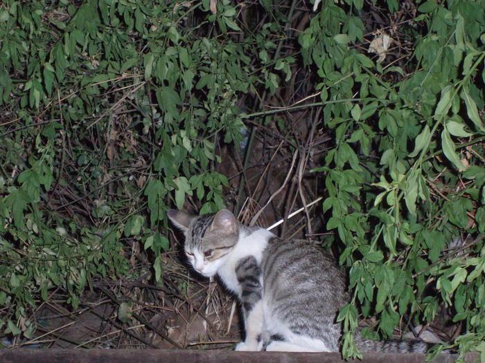 Odin, Nanuk y Odel. 3 gatitos cachorros viviendo en zona peligrosa Madrid Odin110