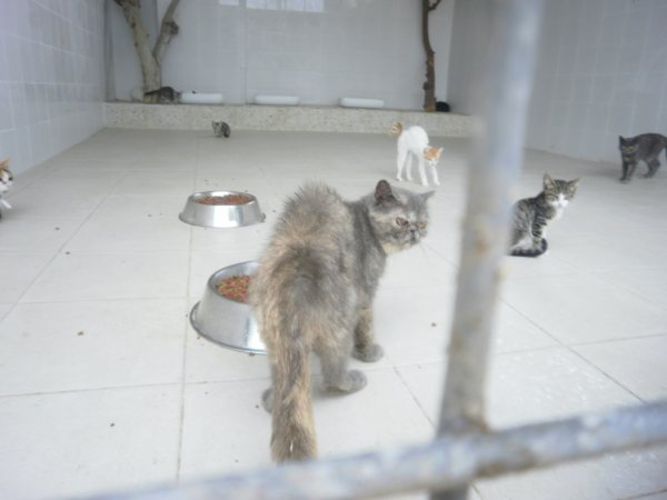 Acogida para gata persa y su  cachoro. Están en perrera Almeria P8180311