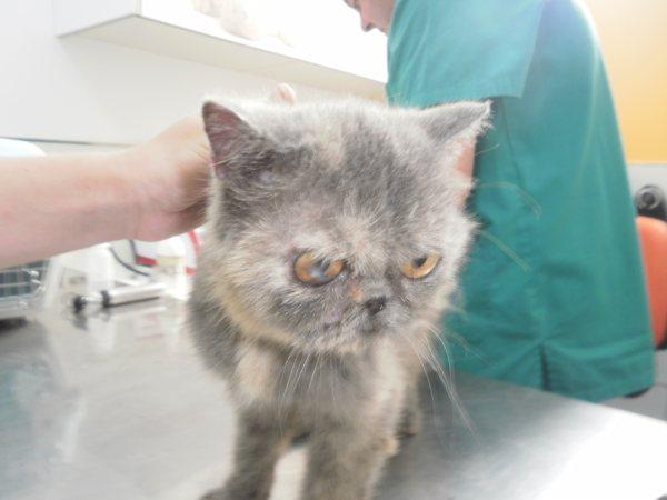 Acogida para gata persa y su  cachoro. Están en perrera Almeria P8250612