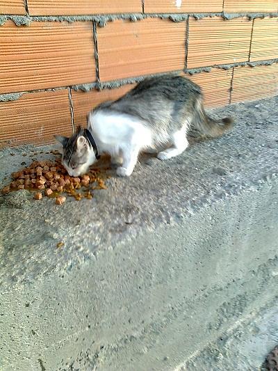 Tami, gata de pelo largo vagando por las calles. Madrid Tami210