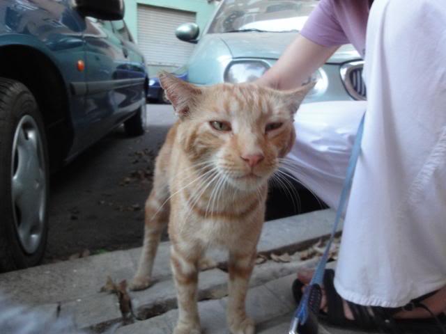 Tritón, gatito pelirojo. Lo han echado a la calle.Valencia Triton12