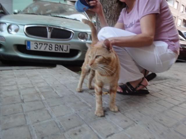 Tritón, gatito pelirojo. Lo han echado a la calle.Valencia Triton13