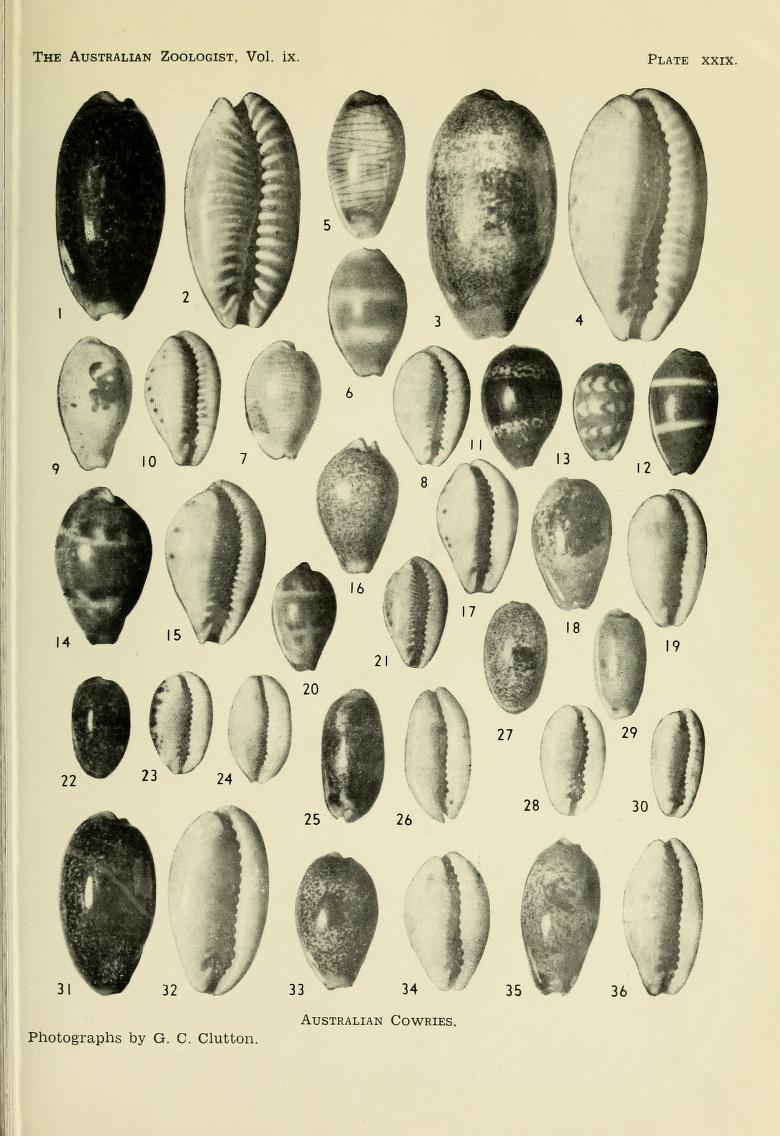 Erronea caurica blaesa - Iredale, 1939 Austra10