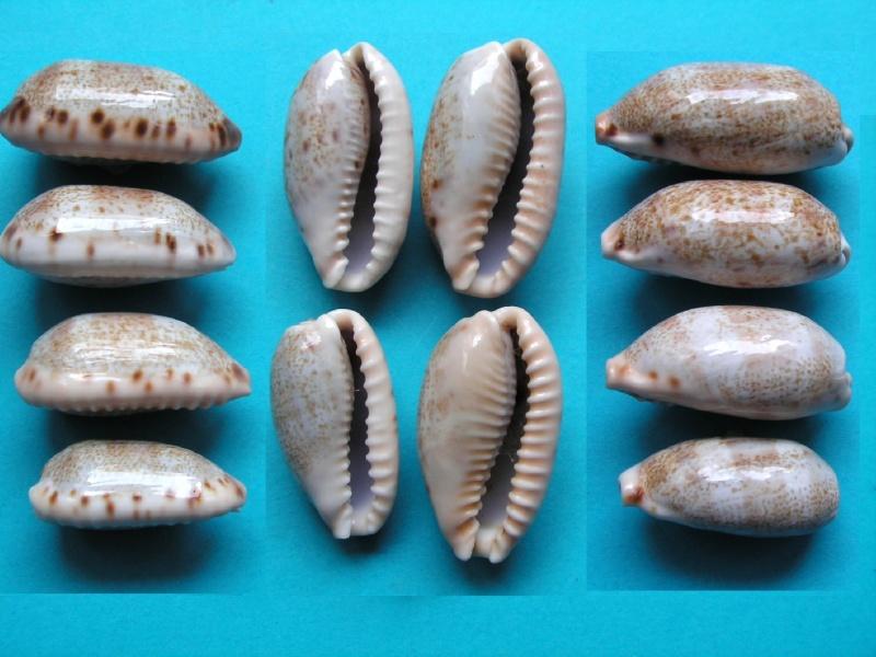 Erronea caurica quinquefasciata - (Röding, 1798)  Base_c10