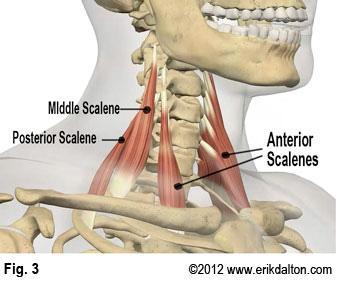 Anatomie fonctionnelle humaine Anteri10