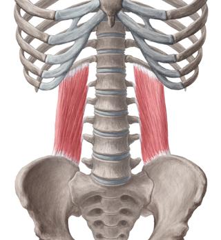 Anatomie fonctionnelle humaine Conten10