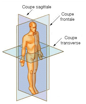 Anatomie fonctionnelle humaine Coupe_10