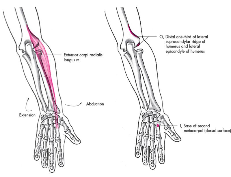 Anatomie fonctionnelle humaine Extens10