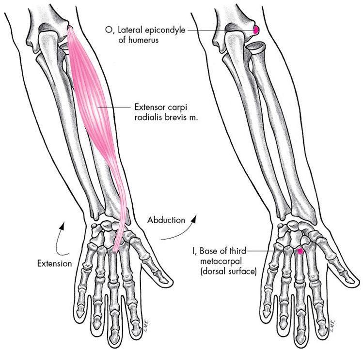Anatomie fonctionnelle humaine Extens12