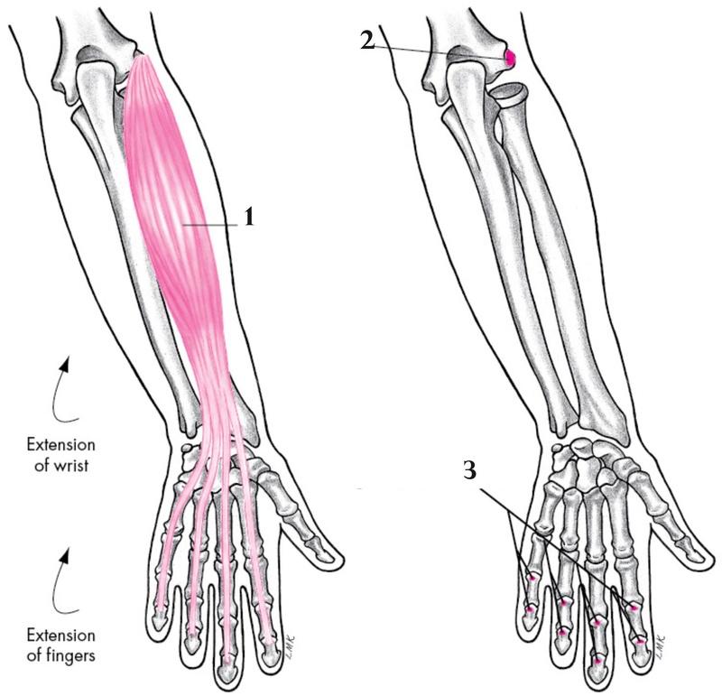 Anatomie fonctionnelle humaine Extens13