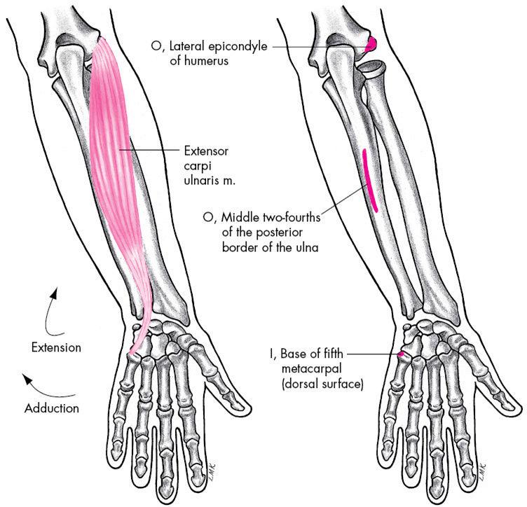 Anatomie fonctionnelle humaine Extens14