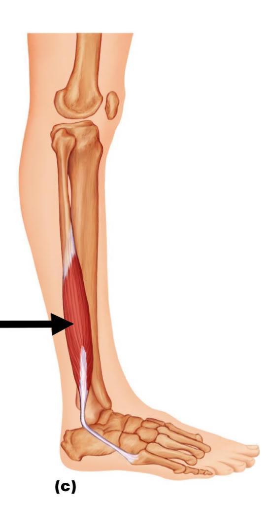 Anatomie fonctionnelle humaine Fibula10