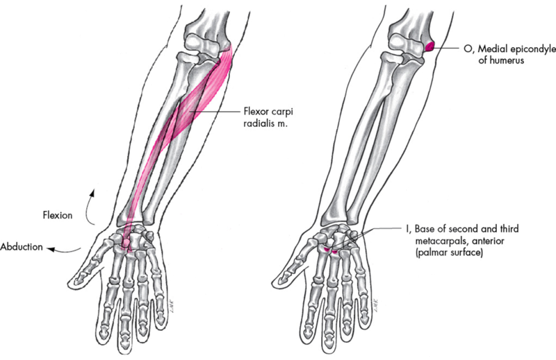 Anatomie fonctionnelle humaine Flexor10