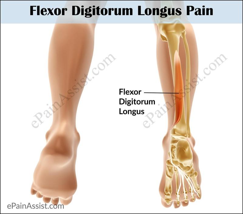 Anatomie fonctionnelle humaine Flexor11