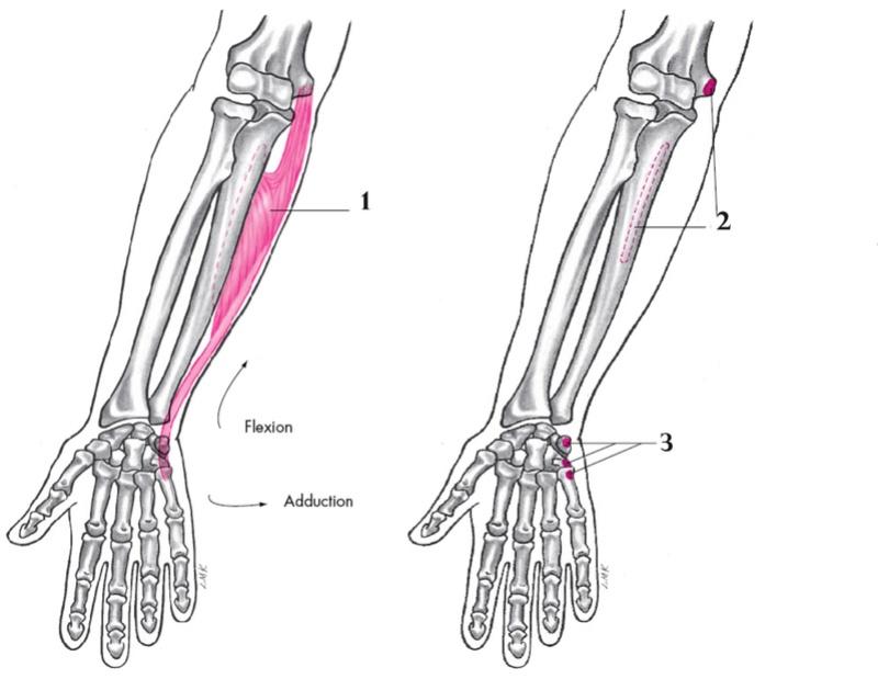 Anatomie fonctionnelle humaine Flexor12