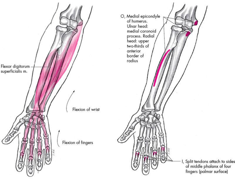 Anatomie fonctionnelle humaine Flexor13