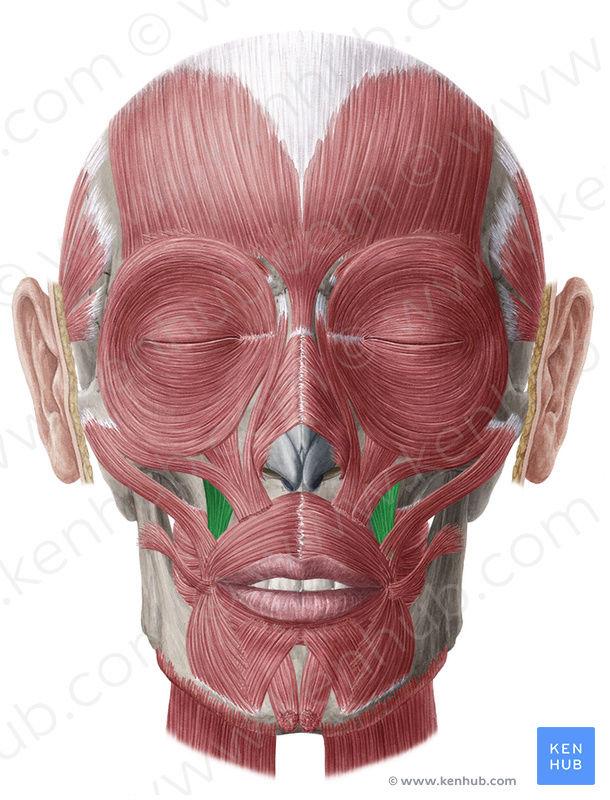 Anatomie fonctionnelle humaine Levato11