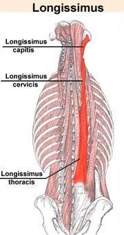 Anatomie fonctionnelle humaine Longis11