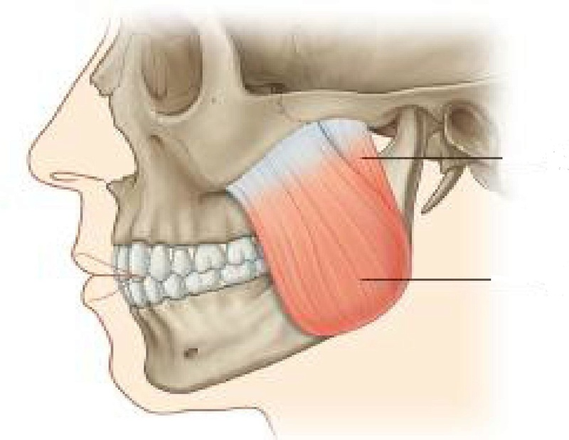 Anatomie fonctionnelle humaine Masset10