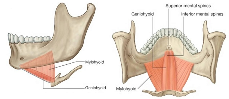 Anatomie fonctionnelle humaine Mylohy10