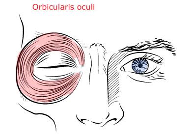 Anatomie fonctionnelle humaine Orbicu10