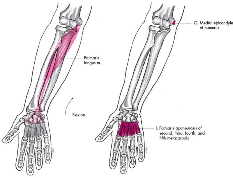 Anatomie fonctionnelle humaine Palmar10