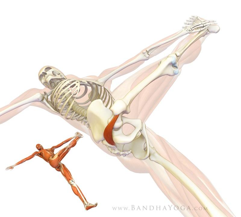 Anatomie fonctionnelle humaine Pirifo10