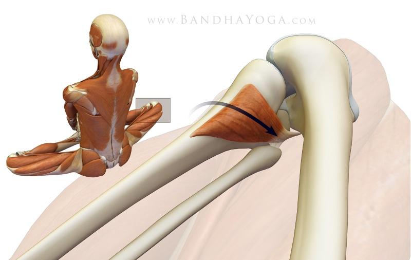 Anatomie fonctionnelle humaine Poplit10